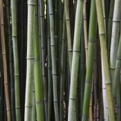 Parkiet bambusowy – czemu nie!